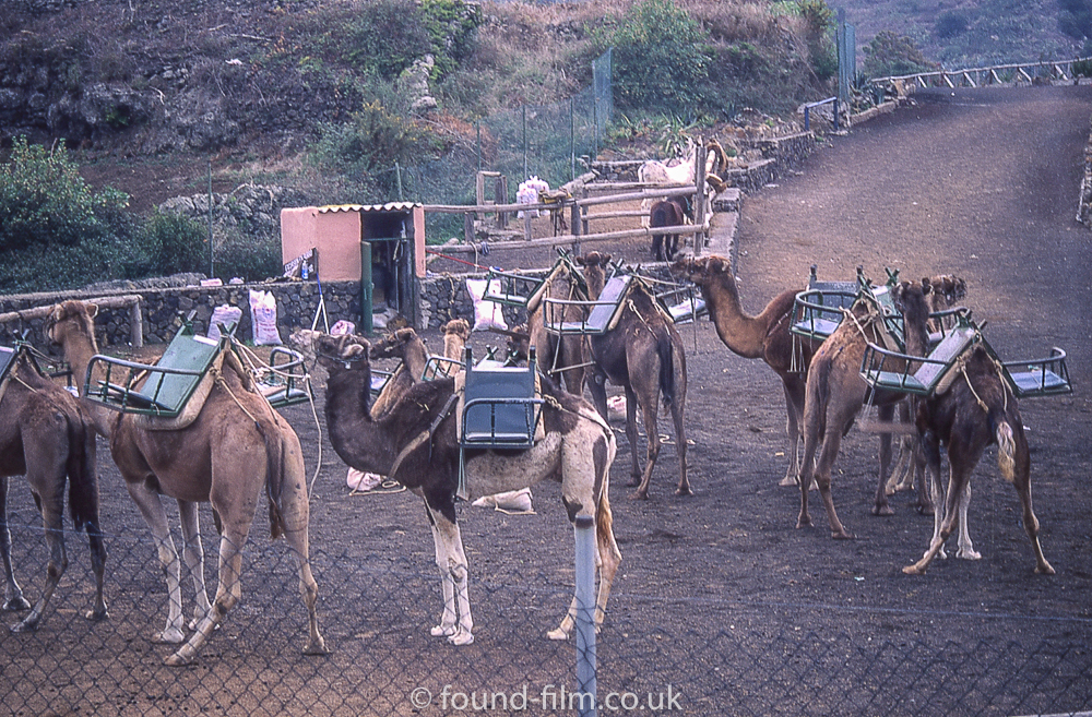 Camels in tenerife