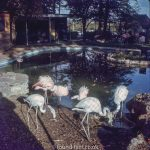 Flamingos next to a pool in a zoo
