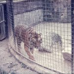 Tiger behind a cage in a zoo