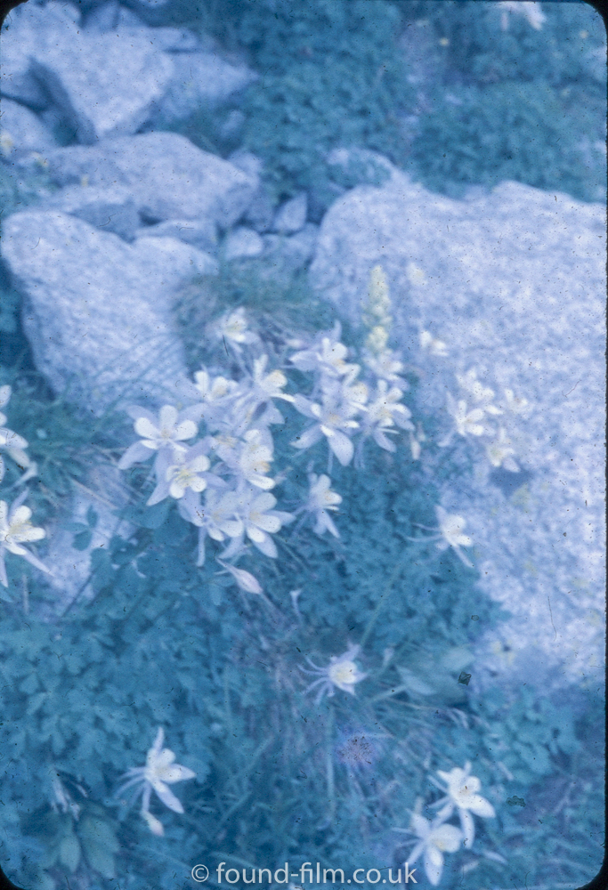 Anscochrome Film - Mountain flowers