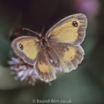 Macro photos on film - Meadow brown butterfly